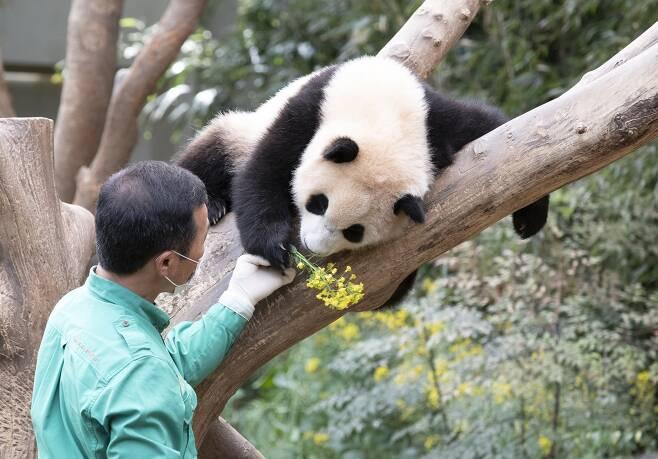 에버랜드 강철원 사육사가 아기판다 푸바오에게 유채꽃을 주고 있다. 임현동 기자