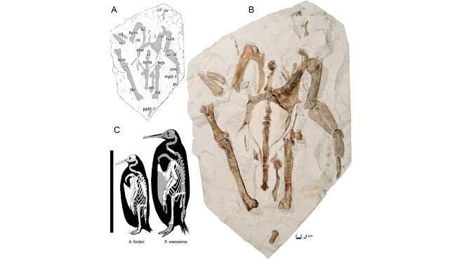 카이루쿠 와에와에로아의 뼈 이미지(A)와 사진(B) 그리고 황제펭귄과 크기를 비교한 이미지(C)(사진=척추고생물학회지)