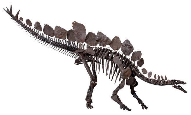 안킬로사우루스와 자매 계통인 스테고사우루스 골격 모형. 가시 뼈가 꼬리에 나 있다. 두 계통이 장기간 평화롭게 공존했음이 드러났다. 런던 자연사박물관 제공.