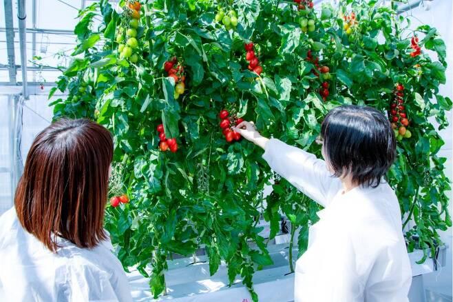 크리스퍼 유전자 가위로 수면 촉진과 불안 감소 효과가 있는 물질을 더 많이 생산하도록 유전자를 교정한 토마토. 일본서 이달부터 시판에 들어갔다./사나텍 시드