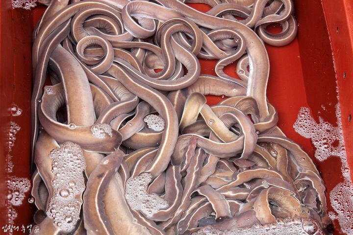 「서민 먹거리 '곰장어'의 실체는 지렁이? 곰장어의」の画像検索結果