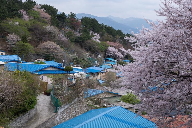 2014 벚꽃 #8. 벚꽃이 만개한 물만골 봄풍경