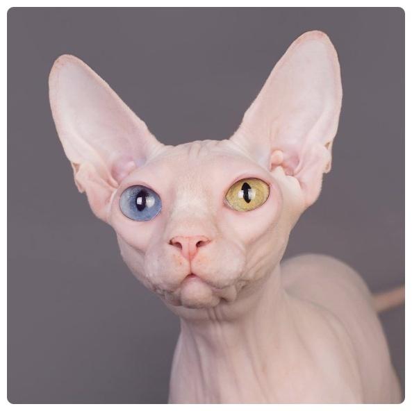 털 없는 고양이 스핑크스(Sphynx) 약점은 피부 질환 ⋆ 코코타임즈