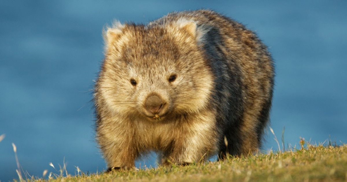 """""""내 땅굴로 피신해"""" 동물들의 영웅 '웜뱃'이 호주인을 웃게 했다"""
