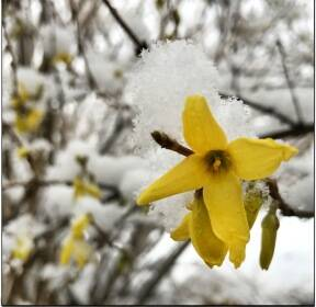[탁기형의 생각 있는 풍경] 노란 봄에 얹힌 하얀 겨울