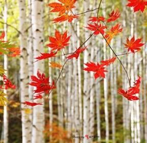 [포토친구] 자작나무 숲의 가을