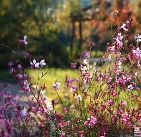 [포토친구] 나비바늘꽃