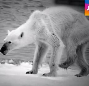 지구 온난화에 관광개발 추진까지..북극곰 생태 '수난'