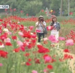 붉게 물든 하동 북천 들녘..'꽃양귀비 축제' 개막