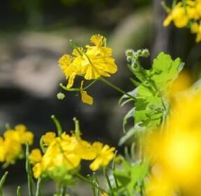 [포토친구] 노란 애기똥풀 꽃