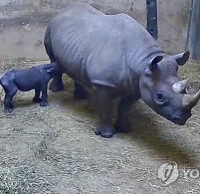 美시카고 동물원서 멸종위기 '검정 코뿔소' 탄생