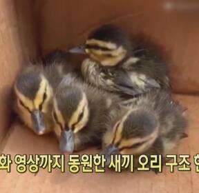 [클릭@지구촌] 휴대전화 영상까지 동원한 새끼 오리 구조 현장