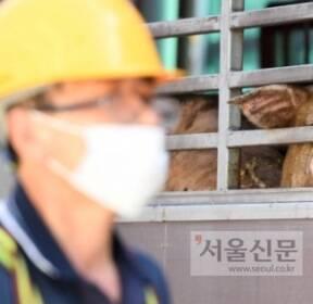 [서울포토] '도축장 계류장으로 들어가는 돼지들'
