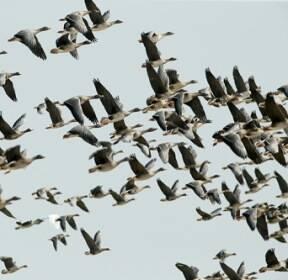 [카메라뉴스] 겨울 철새들 서산 천수만서 힘찬 날갯짓