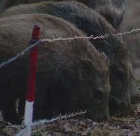 야생 멧돼지 포획 개체수 늘어..포상금도 지급