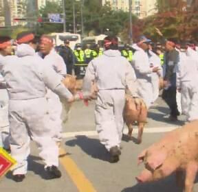잔반 사료 허용하라..양돈농민 격렬 시위