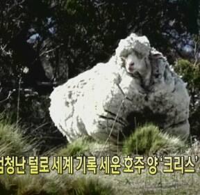 [클릭@지구촌] 엄청난 털로 세계 기록 세운 호주 양 '크리스' 세상 떠나..