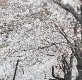코로나19에도 벚꽃 산책