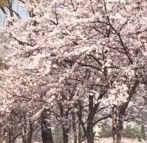 진정한 거리 두기 꽃놀이, '방구석 벚꽃 중계' 커밍순