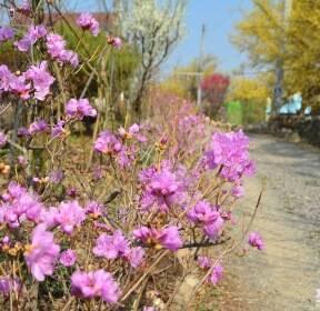 [포토친구] 봄꽃이 한창인 마을 길