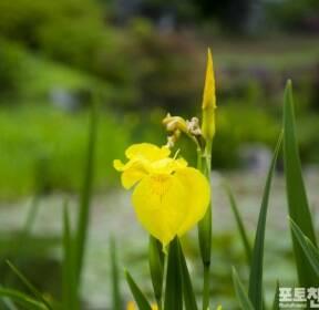[포토친구] 창포꽃 핀 연못