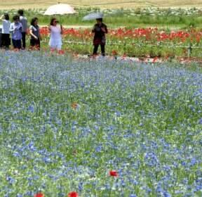 [퇴근길 한 컷] 수백만 송이 보라색 꽃창포 길 걸으며 여름 맞이