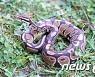 """""""뱀이다!""""..제주 저수지 아프리카 공비단뱀 발견 화들짝"""