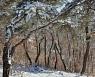 [포토친구] 눈 쌓인 겨울 소나무