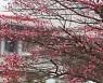 포근한 겨울 날씨, 활짝 핀 홍매화