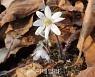 [포토] 국립생태원, 봄을 알리는 '노루귀' 개화