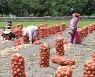 '주민끼리 품앗이' 양파 수확하는 농가