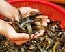 남원시, 토종 미꾸리 대량 생산 양식기술 개발..특허 등록