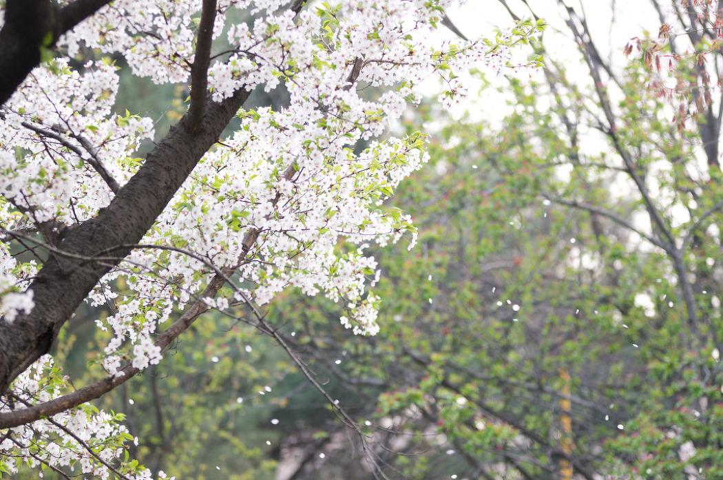 2012 04 19 2012 제 8회 한강여의도 봄꽃축제
