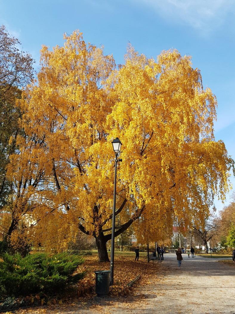 은행나무 단풍을 방불케 하는 자작나무 단풍