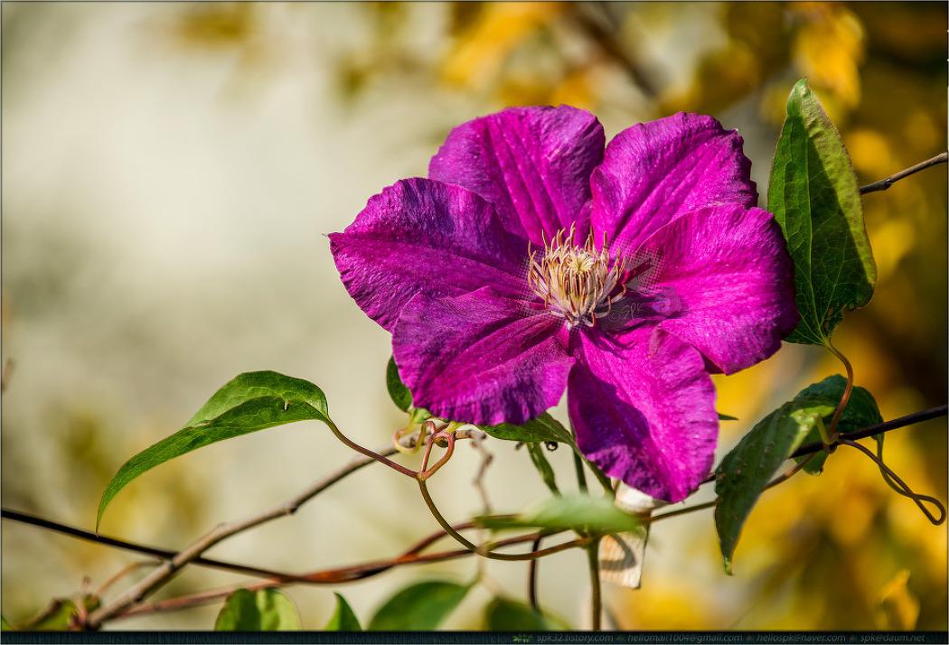꽃 - 97 (골담초, 배꽃, 장미 등)