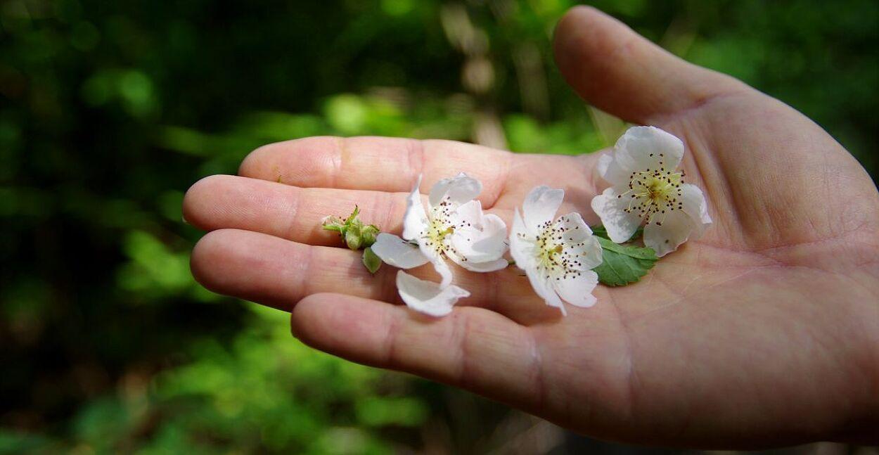 자색 아가시아 꽃.
