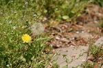 요즘 찍은 봄꽃 사진들 민들레, 튤립, 벗꽃