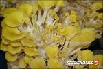 우리들 농장 - 칼라 느타리버섯