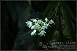 [2009.03.28 (토) 맑음] 난꽃 - 제주의 야생화