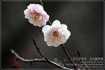 [2009.02.21 (토) 맑음] 매화 - 제주의 야생화