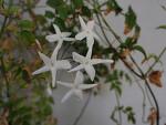 학자스민 ,꽃향기가 독특하고 은은한 허브