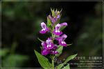 [2009.09.20 (일) 맑음] 며느리밥풀 - 제주의 야생화
