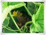 성주참외 - 간 큰 개구리
