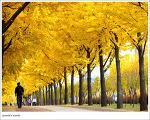 노란 은행나무길