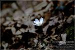 [2009.02.28 (토) 맑음] 노루귀 - 제주의 야생초
