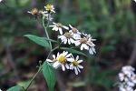 산기슭 참취꽃, 개울가 쑥부쟁이 피었다