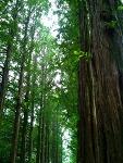 [남이섬] 나무
