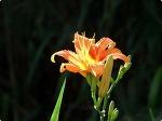 여름꽃 왕원추리가 만발한 성주사(곰절)