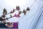 미운 가지의 예쁜 앵두꽃