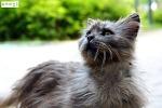 주인 잃고 버려져 아파트를 떠도는 각설이 고양이(러시안블루 믹스 네벨룽)
